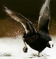 Црна лиска, птица која нестаје
