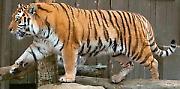 """""""Забавников"""" зоо – амурски тигар"""