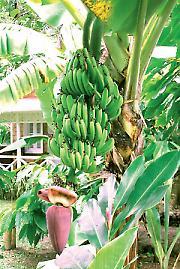 Време је за банане