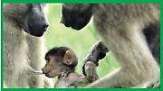 Тајанствено ишчезавање бабуна